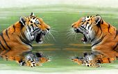 stock photo of tigress  - Siberian Tigers in water - JPG