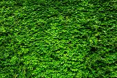 stock photo of ivy vine  - Green Ivy wall - JPG