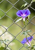 Morning glory growing up a fence.