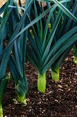 stock photo of leek  - Leeks in a row in the ground  - JPG