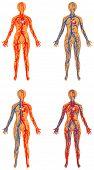 pic of coronary arteries  - Human vascular system - JPG
