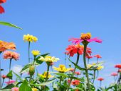 foto of zinnias  - Zinnia flower in the garden with blue sky - JPG