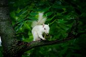 stock photo of albinos  - Rare white squirrel in a tree in the city park in Olney Illinois one of the few places were a large number of them exist. The squirrels are not albino but have white fur from leucism.