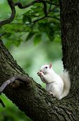 stock photo of albinos  - Rare white squirrel in a tree in the city park in Olney Illinois one of the few places were a large number of them exist - JPG