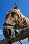 foto of workhorses  - Portrait of an old work horse on a background of blue sky - JPG