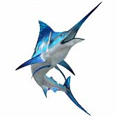 foto of saltwater fish  - The Blue Marlin is a popular big game fish for fishermen and inhabits oceans throughout the world - JPG