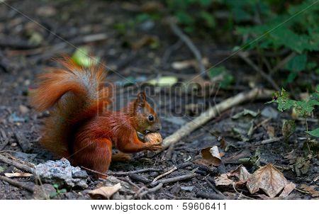 Red Squirrel Eat Walnut In Autumn Forest