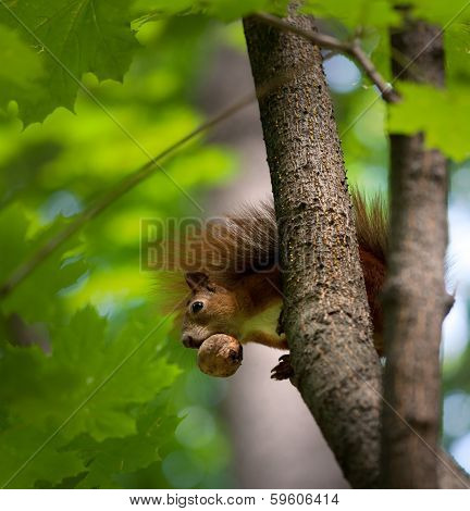 Red Squirrel On Tree With Walnut In Mouth.