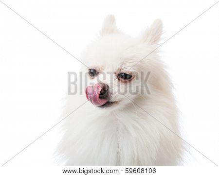 White pomeranian dog with tongue
