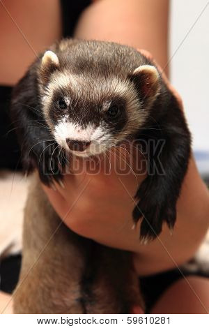 Small Ferret In The Human Hands