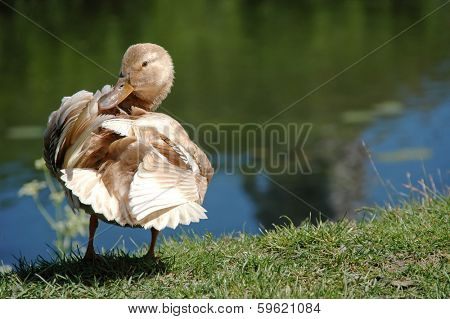 Sweet duck by a lake