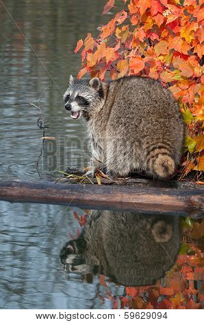 Raccoon (Procyon lotor) Cries Out While On Log In Water