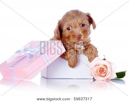 Puppy In A Gift Box And A Rose