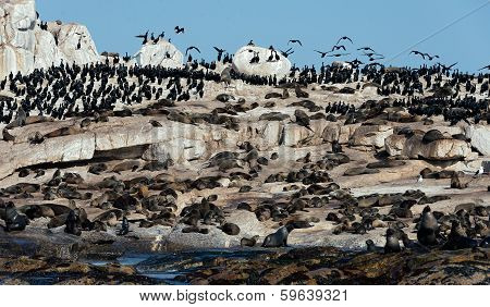 Cape Fur Seals On Seal Island