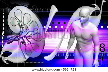 Human body and kidney