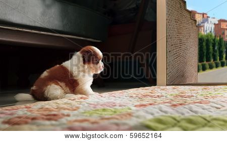 Adrable Baby Shih Tzu Puppy Dog Sitting In Front Of Home Door And Looking To Out Side