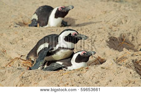 African penguins (Spheniscus demersus) nesting in sand, Western Cape, South Africa