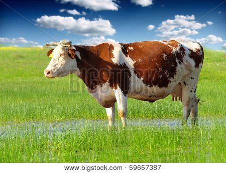 Cow grazing in fresh pastures
