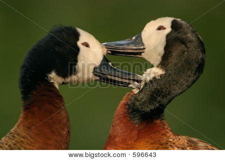 Whitefaced Ducks