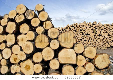 Fresh Cut Tree Logs On Field