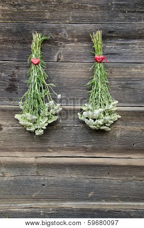 Two Fresh Yarrow Achilea Millefolium Medical Herb Bunch