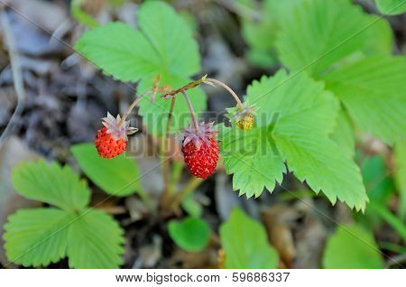 Strawberries in the wild
