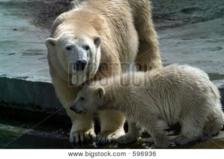 Family Of Polar Bears - 1