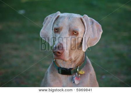 Weimaraner Dog