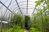 stock photo of greenhouse  - Young tomato plants in vegetable greenhouses made of transparent polycarbonate - JPG