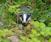 picture of badger  - Badger in the wild in their natural habitat - JPG