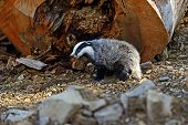 foto of badger  - Badger near its burrow in the forest - JPG
