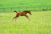image of animal husbandry  - Horse runs across the field in the spring farm - JPG