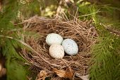 stock photo of quail egg  - three colorful bird eggs in a nest on a branch in spring