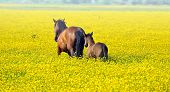 stock photo of fillies  - Horses graze in the pasture in spring - JPG