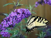 stock photo of butterfly-bush  - Beautiful Yellow Jacket Butterfly on a butterfly bush - JPG