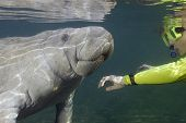 stock photo of sea cow  - A woman snorkeler is greeting a manatee - JPG