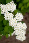 foto of meadowsweet  - branch of white Spirea in a summer garden - JPG