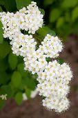 foto of meadowsweet  - branch of white Spirea in a summer garden - JPG