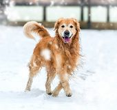 foto of freezing temperatures  - Young golden retriever walk at the snow - JPG