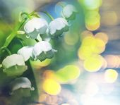 foto of lillies  - Lilly of the valley - JPG
