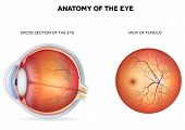 stock photo of human eye  - Anatomy of the eye cross section and view of fundus - JPG