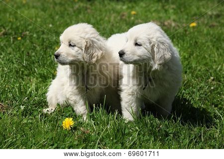 Two Puppies Of Slovakian Chuvach
