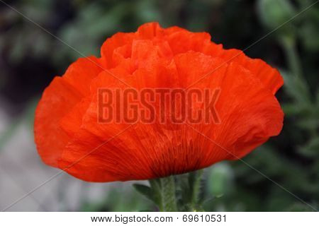 Poppy Flower Side