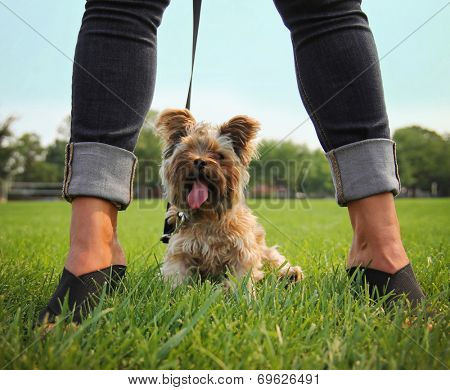 a yorkshire terrier sitting between a glamorous woman's legs
