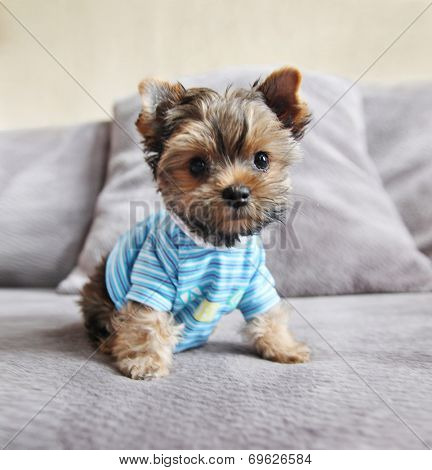 a cute yorkie in a shirt sitting on a couch
