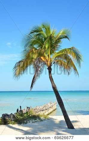Palm And Windbreak