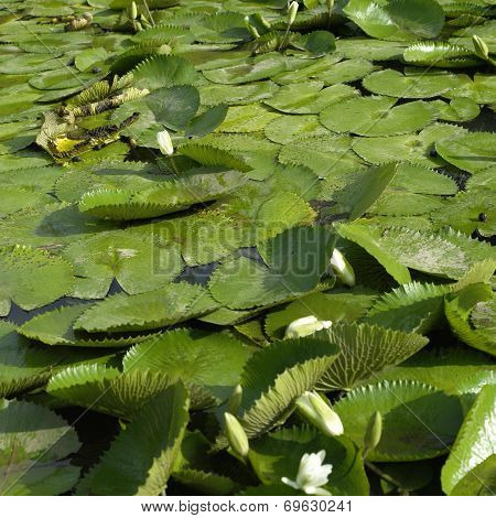 White Lily Pads