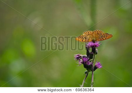 Argynnis paphia butterfly on a thistle blossom