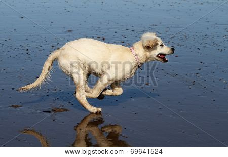 Dog running on wet beach.