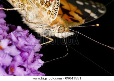 Painted lady butterfly showing feeding proboscis.